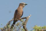 Rufous-Crowned Roller  Samburu