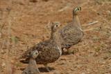 Black-Faced Sandgrouse  Samburu