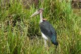 Marabou Stork  Mount Kenya