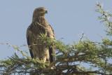 Tawny Eagle  Nakuru