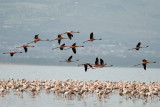 Lesser Flamingo  Nakuru