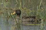 Yellow-Billed Duck  Naivasha
