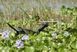 Long-Tailed Cormorant  Naivasha