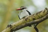 Woodland Kingfisher  Masai Mara