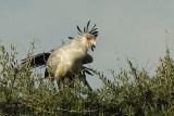 Secretary  Bird  Masai Mara