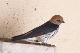 Lessrv Striped Swallow  Masai Mara