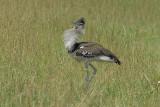 Kori Bustard  Masai Mara