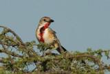 Rosy-Patched Bush-Shrike  Samburu