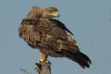 Tawny Eagle  Samburu