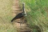 Kori Bustard   Samburu