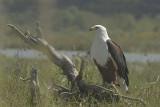 African Fish Eagle  Naivasha