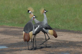 Grey Crowned Crane   Masai Mara