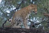 Leopard   Samburu