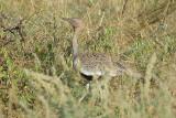 Crested Bustard   Samburu