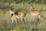 Impalas   Samburu.