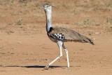 Kori Bustard   Samburu.