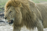 Lion  Masai Mara.
