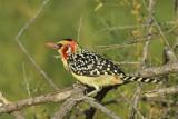 Red-and-Yellow Barbet   Samburu