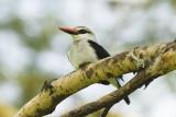 Woodland Kingfisher  Masai Mara.