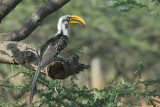Yellow-Billed Hornbill. Samburu