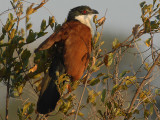 Burchell's Coucal    Kruger