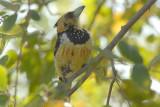 Crested  Barbet   Kruger