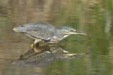 Greenbacked Heron   Kruger