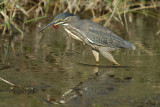Greenbacked Heron and Fire Dragonfly