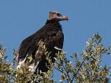 White-Headed Vulture  Kruger