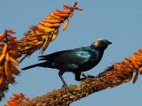 Greater Blue-eared Starling   Kruger