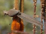 Speckled Mousebird   Kruger