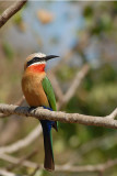Whitefronted Bee-eater   Kruger
