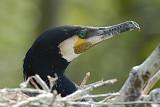 Cormorants - Aalscholvers