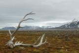 Raindeer antler in tundra