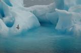 iceberg & fulmar