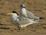 Swift Tern  Cape Vidal