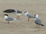 Swift Tern and Grey headed Gull   Cape Vidal