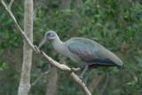 Hadeda Ibis  St. Lucia