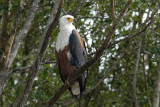 African Fish Eagle   St.Lucia