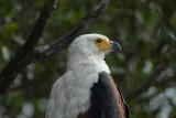 ZA_ African Fish Eagle 255.JPG
