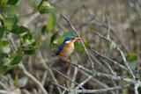 Malachite Kingfisher  St.Lucia