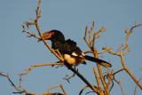 Trumpeter Hornbill  Umfalozi