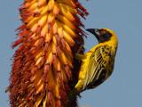 Spottedbacked Weaver   Kruger