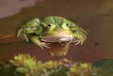 20070413-DSC_5431Green(Edible) Frog [ Rana esculenta]