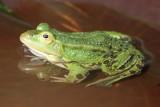 20070413-DSC_5439 Green(Edible) Frog [ Rana esculenta]