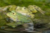 DSC_0030       Green(Edible) Frog [ Rana esculenta]