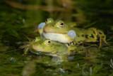 DSC_0040       Green(Edible) Frog [ Rana esculenta]