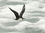 Arctic Skua [ Stercorarius parasiticus ]