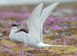 Arctic Tern [Sterna paradisaea]