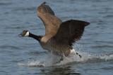 Canada Goose  -  Branta canadensis ]